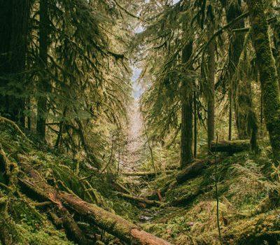 Skog-Sibirisk-Lärk